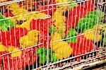China, Yunnan, Kunming. Little chicks dyed green, yellow and red for sale in Kunming market. Stock Photo - Premium Rights-Managed, Artist: AWL Images, Code: 862-06676351