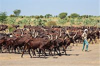 Chad, Chari Baguirmi, Bachoum.  A Peul herdsman drives his long-horned cattle to water. Stock Photo - Premium Rights-Managed, Artist: AWL Images, Code: 862-06676368