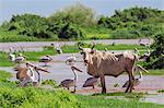 A lost cow grazes among Pink-backed Pelicans in flooded fields beside the Omo River. The river bursts its banks annually during heavy rain in the Ethiopian Highlands, Ethiopia Stock Photo - Premium Rights-Managed, Artist: AWL Images, Code: 862-06676699