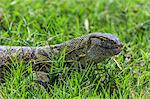 A Monitor Lizard on the banks of the Omo River, Ethiopia Stock Photo - Premium Rights-Managed, Artist: AWL Images, Code: 862-06676702