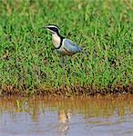 An Egyptian Plover on the banks of the Omo Rive, Ethiopia Stock Photo - Premium Rights-Managed, Artist: AWL Images, Code: 862-06676714