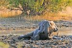 Africa, Namibia, Caprivi, Elephant rolling in mud in the Bwa Bwata National Park Stock Photo - Premium Rights-Managed, Artist: AWL Images, Code: 862-06677191