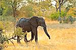 Africa, Namibia, Caprivi, Elephant in the Bwa Bwata National Park Stock Photo - Premium Rights-Managed, Artist: AWL Images, Code: 862-06677195