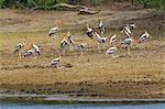 A flock of attractive Painted storks in Yala National Park.  This large park and the adjoining nature reserve of dry woodland is one of Sri Lanka s most popular wildlife destinations. Stock Photo - Premium Rights-Managed, Artist: AWL Images, Code: 862-06677458