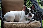 french bulldog relaxing on patio chair Stock Photo - Premium Rights-Managed, Artist: Andrew Kolb, Code: 700-06679315