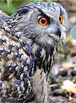 Eagle Owl - Bubo bubo Stock Photo - Royalty-Free, Artist: pixelnest                     , Code: 400-06700205