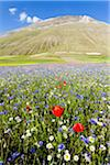 Poppy flowers (Papaver rhoeas), daisy (Leucanthemum vulgare) and cornflowers (Centaurea cyanus) on cultivated land, Piano Grande, Umbria, Italy Stock Photo - Premium Rights-Managed, Artist: F. Lukasseck, Code: 700-06701739