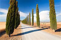 Mediterranean Cypress Tree (Cupressus sempervirens) Allee by Barley Fields leading to Farm House, Val d'Orcia, Tuscany, Italy Stock Photo - Premium Royalty-Freenull, Code: 600-06702060