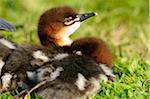 Common Merganser (Mergus merganser) chicks in meadow, Bavaria, Germany Stock Photo - Premium Rights-Managed, Artist: David & Micha Sheldon, Code: 700-06702081