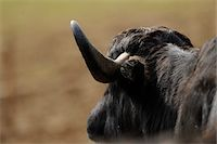 Close-Up of Water Buffalo (Bubalus bubalis) Head and Horn Stock Photo - Premium Rights-Managednull, Code: 700-06702160