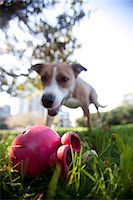 Dog in Park Looking at Plastic Toy Stock Photo - Premium Rights-Managednull, Code: 822-06702185