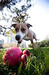 Dog in Park Looking at Plastic Toy Stock Photo - Premium Rights-Managed, Artist: ableimages, Code: 822-06702185