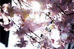 Pink Cherry Blossom, Close-up View Stock Photo - Premium Rights-Managed, Artist: ableimages, Code: 822-06702369