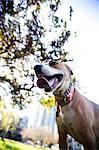 Dog in Park with Tongue Sticking Out Stock Photo - Premium Rights-Managed, Artist: ableimages, Code: 822-06702509