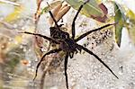 Wolf spider at Lake Umbagog, New Hampshire, USA Stock Photo - Premium Royalty-Free, Artist: F. Lukasseck, Code: 6105-06702814