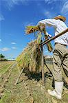 Farmer drying rice ears Stock Photo - Premium Rights-Managed, Artist: Aflo Relax, Code: 859-06711095