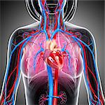 Female cardiovascular system, computer artwork. Stock Photo - Premium Royalty-Free, Artist: Universal Images Group, Code: 679-06711343