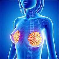 Breast anatomy, computer artwork. Stock Photo - Premium Royalty-Freenull, Code: 679-06711357