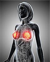 Breast anatomy, computer artwork. Stock Photo - Premium Royalty-Freenull, Code: 679-06711371