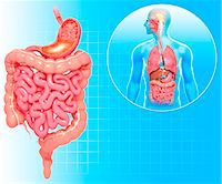 Healthy digestive system, computer artwork. Stock Photo - Premium Royalty-Freenull, Code: 679-06711512