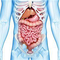Male digestive system, computer artwork. Stock Photo - Premium Royalty-Freenull, Code: 679-06711524