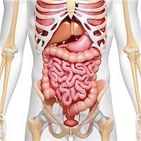 Male anatomy, computer artwork. Stock Photo - Premium Royalty-Freenull, Code: 679-06711526