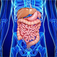 Male digestive system, computer artwork. Stock Photo - Premium Royalty-Freenull, Code: 679-06711527