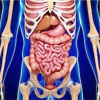 Male anatomy, computer artwork. Stock Photo - Premium Royalty-Freenull, Code: 679-06711529