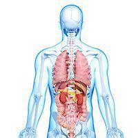 Male anatomy, computer artwork. Stock Photo - Premium Royalty-Freenull, Code: 679-06711531