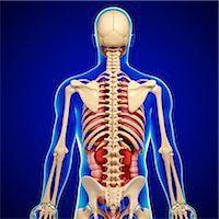 Male anatomy, computer artwork. Stock Photo - Premium Royalty-Freenull, Code: 679-06711534