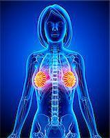 Breast anatomy, computer artwork. Stock Photo - Premium Royalty-Freenull, Code: 679-06711536