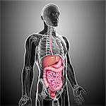 Healthy digestive system, computer artwork. Stock Photo - Premium Royalty-Free, Artist: Science Faction, Code: 679-06711583