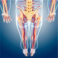 Lower body anatomy, computer artwork. Stock Photo - Premium Royalty-Freenull, Code: 679-06711650
