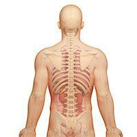 spinal column - Male anatomy, computer artwork. Stock Photo - Premium Royalty-Freenull, Code: 679-06711733