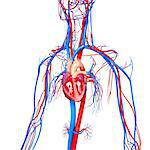 Cardiovascular system, computer artwork. Stock Photo - Premium Royalty-Free, Artist: Science Faction, Code: 679-06711748