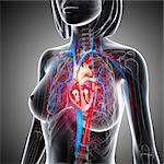 Female cardiovascular system, computer artwork. Stock Photo - Premium Royalty-Free, Artist: Universal Images Group, Code: 679-06711750