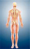 Human arteries, computer artwork. Stock Photo - Premium Royalty-Freenull, Code: 679-06711759