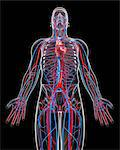 Cardiovascular system, computer artwork. Stock Photo - Premium Royalty-Free, Artist: Science Faction, Code: 679-06711772