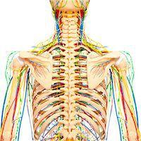Back anatomy, computer artwork. Stock Photo - Premium Royalty-Freenull, Code: 679-06711836