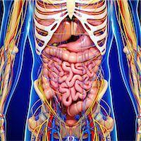 Male anatomy, computer artwork. Stock Photo - Premium Royalty-Freenull, Code: 679-06711895