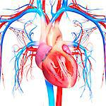 Cardiovascular system, computer artwork. Stock Photo - Premium Royalty-Free, Artist: Science Faction, Code: 679-06711980