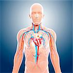 Cardiovascular system, computer artwork. Stock Photo - Premium Royalty-Free, Artist: Science Faction, Code: 679-06712077