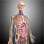 Human anatomy, computer artwork. Stock Photo - Premium Royalty-Free, Artist: Science Faction, Code: 679-06712378