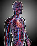 Cardiovascular system, computer artwork. Stock Photo - Premium Royalty-Free, Artist: Universal Images Group, Code: 679-06712396