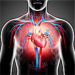 Male cardiovascular system, computer artwork. Stock Photo - Premium Royalty-Free, Artist: Science Faction, Code: 679-06712676
