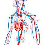 Cardiovascular system, computer artwork. Stock Photo - Premium Royalty-Free, Artist: Science Faction, Code: 679-06713053