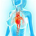 Female cardiovascular system, computer artwork. Stock Photo - Premium Royalty-Free, Artist: Universal Images Group, Code: 679-06713336