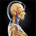 Female anatomy, computer artwork. Stock Photo - Premium Royalty-Free, Artist: Transtock, Code: 679-06713512