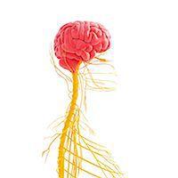 spinal column - Human nervous system, computer artwork. Stock Photo - Premium Royalty-Freenull, Code: 679-06713529