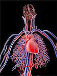 Cardiovascular system, computer artwork. Stock Photo - Premium Royalty-Freenull, Code: 679-06713843